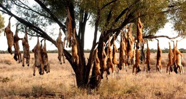 Dingo tree